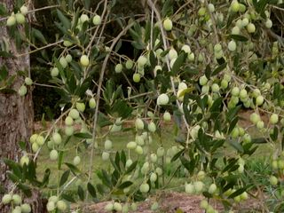 Olive tree mv